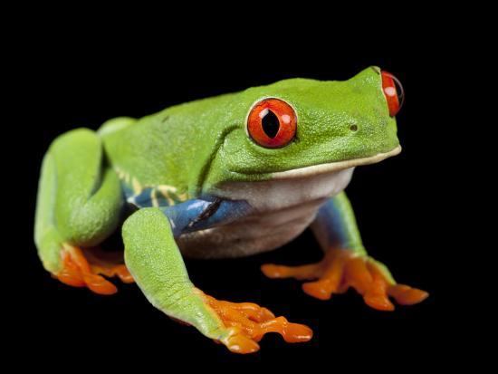 Red Eyed Tree Frog, Agalychnis Callidryas-Joel Sartore-Photographic Print