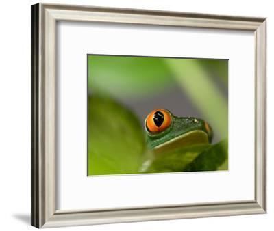 Red-Eyed Tree Frog at the Sunset Zoo, Kansas-Joel Sartore-Framed Photographic Print