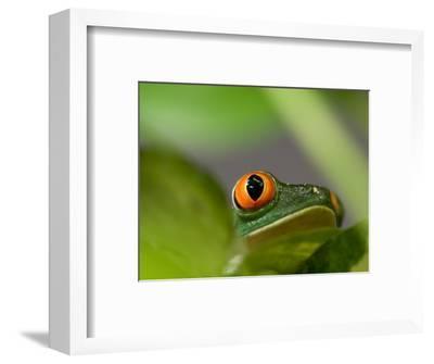Red-Eyed Tree Frog at the Sunset Zoo, Kansas-Joel Sartore-Framed Photographic Print