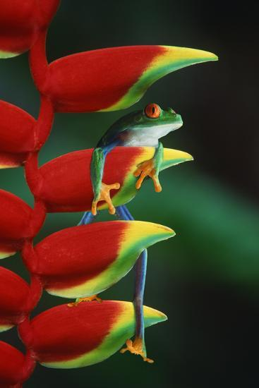 Red Eyed Tree Frog Climbing Plant-DLILLC-Photographic Print