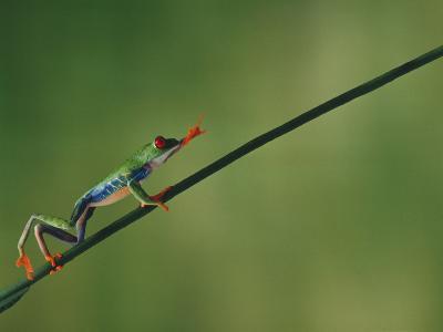Red-Eyed Tree Frog Climbing Twig-DLILLC-Photographic Print