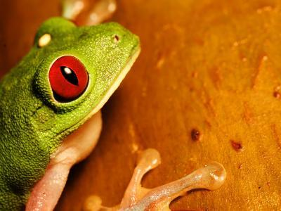 Red-Eyed Tree Frog, Close-up of Head and Front Feet, Costa Rica-Roy Toft-Photographic Print