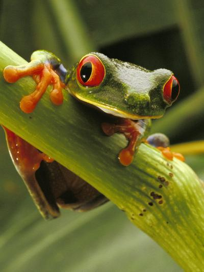 Red-Eyed Tree Frog, Costa Rica-Steve Winter-Photographic Print