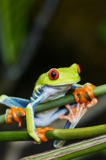Red Eyed Tree Frog, Costa Rica-Paul Souders-Photographic Print