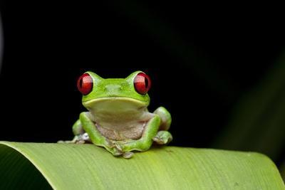 Red Eyed Tree Frog, Costa Rica--Photographic Print