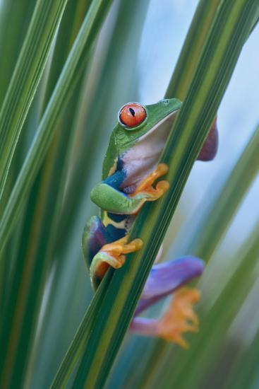 Red-Eyed Tree Frog, Costa Rica-Tim Fitzharris-Photographic Print