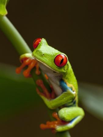 https://imgc.artprintimages.com/img/print/red-eyed-tree-frog-in-costa-rica_u-l-pzlatt0.jpg?p=0