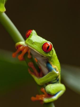 https://imgc.artprintimages.com/img/print/red-eyed-tree-frog-in-costa-rica_u-l-pzlatx0.jpg?p=0