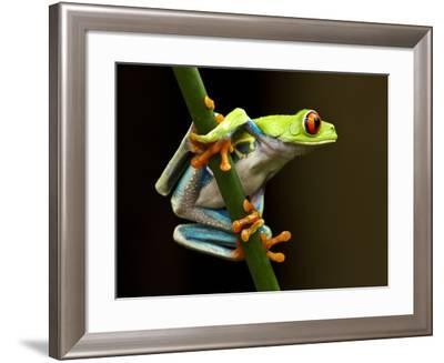 Red-Eyed Tree Frog in Costa Rica-Paul Souders-Framed Photographic Print