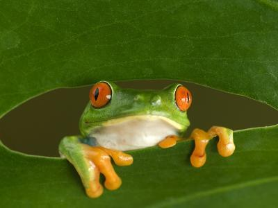 Red-Eyed Tree Frog Looking Through Hole in a Leaf, Costa Rica-Edwin Giesbers-Photographic Print