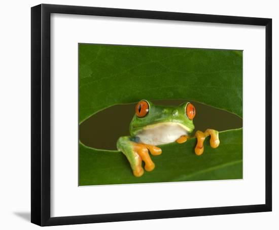 Red-Eyed Tree Frog Looking Through Hole in a Leaf, Costa Rica-Edwin Giesbers-Framed Photographic Print