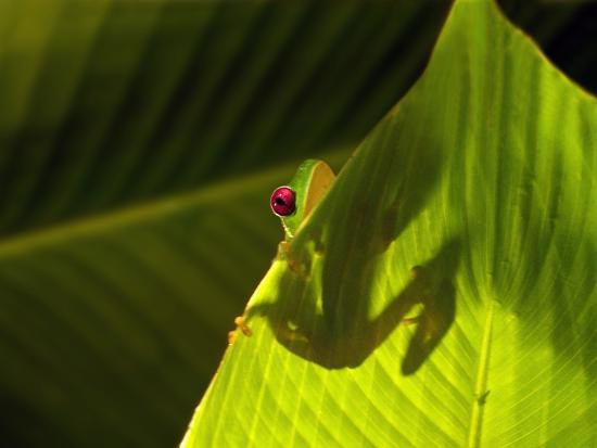 Red-eyed Tree Frog on Leaf-Keren Su-Photographic Print
