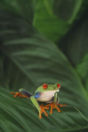 Red-Eyed Tree Frog on Leaf-DLILLC-Photographic Print