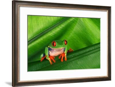 Red-Eyed Tree Frog on Leaf-DLILLC-Framed Photographic Print