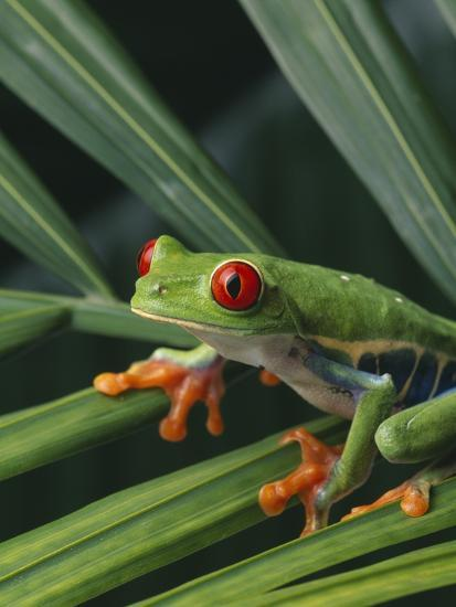 Red Eyed Tree Frog on Plant--Photographic Print