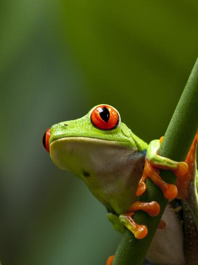 Red-eyed tree frog on stem-Paul Souders-Photographic Print