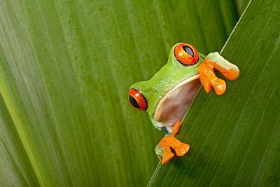 Red Eyed Tree Frog Peeping Curiously Between Green Leafs In Costa Rica Rainforest-kikkerdirk-Wall Mural