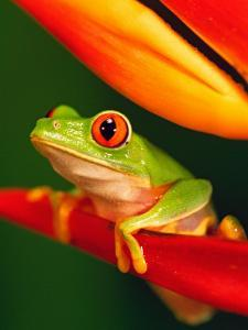 Red-Eyed Tree Frog Perched on Colorful Heliconia Flower