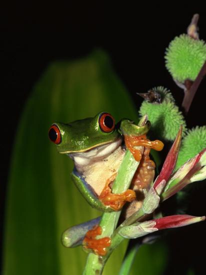 Red-Eyed Tree Frog Perched on Edge of Plant--Photographic Print