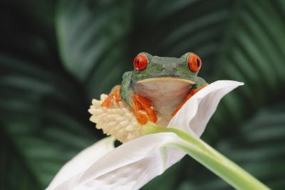 Red-Eyed Tree Frog Perched on Flower-DLILLC-Photographic Print