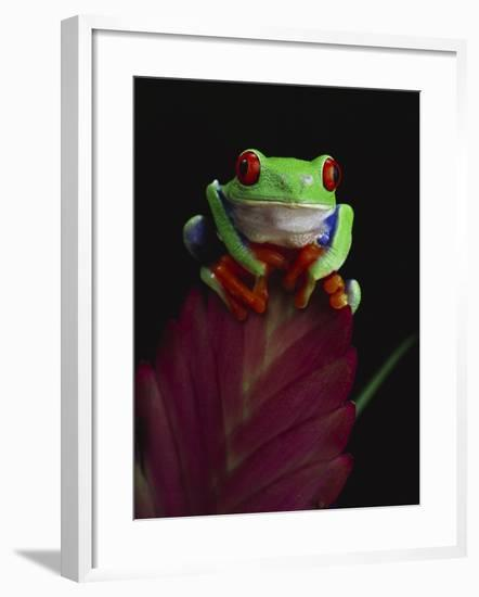 Red-Eyed Tree Frog Perched on Plant-David Northcott-Framed Photographic Print