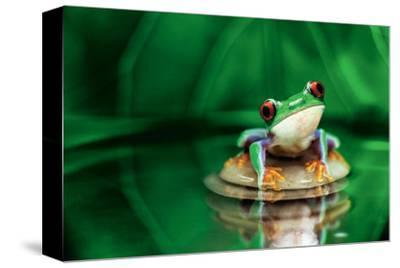 Red-Eyed Tree Frog--Stretched Canvas Print