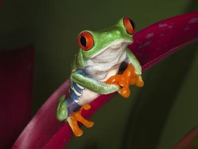 Red-Eyed Tree Frog-Adam Jones-Photographic Print