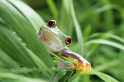 Red-eyed Tree Frog-David Aubrey-Photographic Print