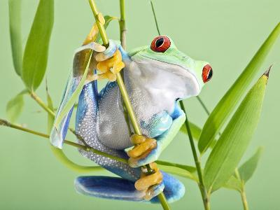 Red-eyed Tree Frog-Linda Wright-Photographic Print