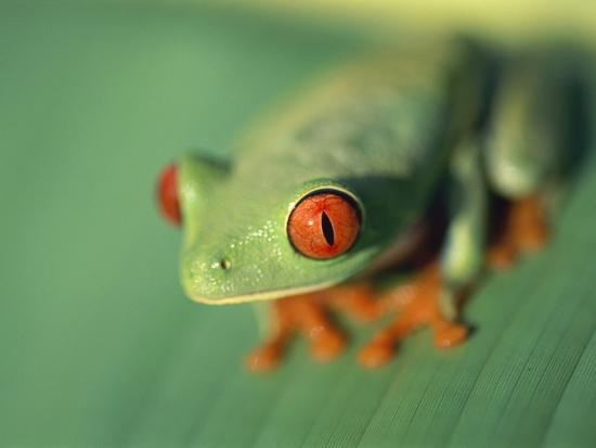 Red Eyed Tree Frog-Frans Lemmens-Photographic Print
