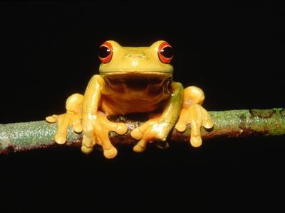 https://imgc.artprintimages.com/img/print/red-eyed-tree-frog_u-l-pzkq550.jpg?p=0