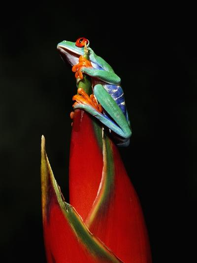 Red-Eyed Tree Frog-Robert Marien-Photographic Print