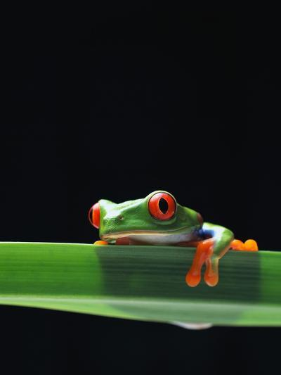 Red-Eyed Tree Frog-Chase Swift-Photographic Print