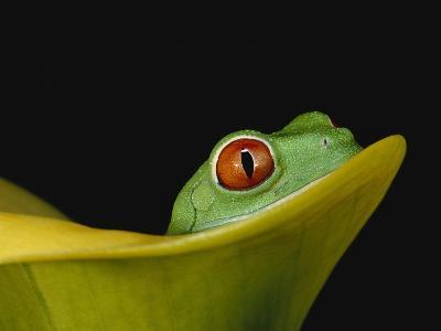 Red-Eyed Tree Frog-David Northcott-Photographic Print