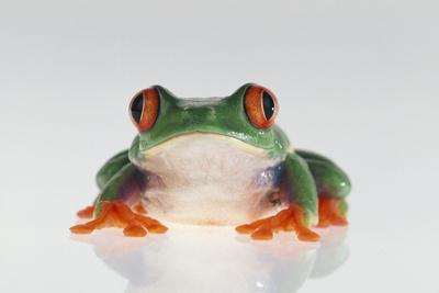 https://imgc.artprintimages.com/img/print/red-eyed-tree-frog_u-l-pzr97t0.jpg?p=0