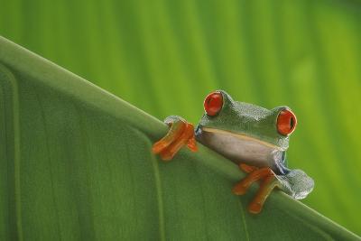 Red-Eyed Tree Frog-DLILLC-Photographic Print