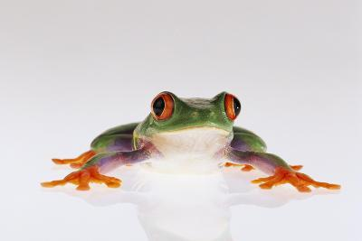 Red-Eyed Tree Frog-DLILLC-Photographic Print
