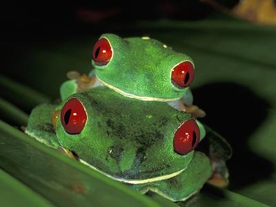 Red-Eyed Tree Frogs Mating (Agalychnis Callidryas), Cahuita National Park, Costa Rica-Thomas Marent-Photographic Print