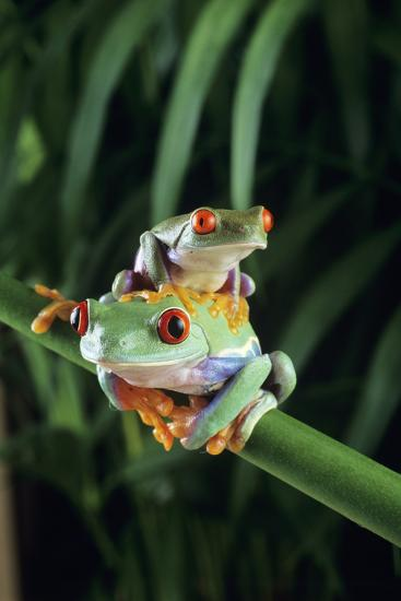 Red-eyed Tree Frogs-David Aubrey-Photographic Print