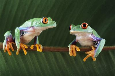 Red-eyed Tree Frogs-David Aubrey-Photographic Print