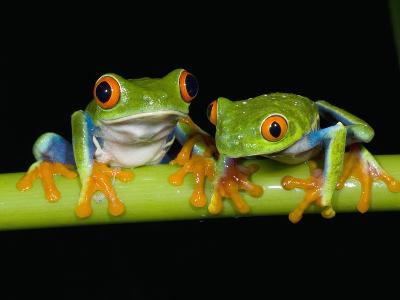 Red-eyed Tree Frogs-Kevin Schafer-Photographic Print