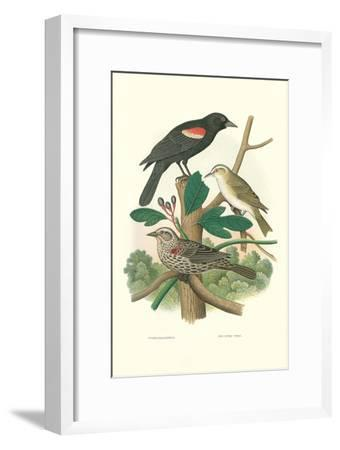 Red-Eyed Vireo, Red Wing Blackbird