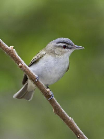 Red-Eyed Vireo (Vireo Olivaceus) Perched on a Branch, Ontario, Canada-Glenn Bartley-Photographic Print