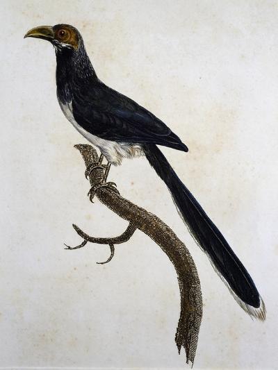 Red-Faced Malkoha (Phaenicophaeus Pyrrhocephalus)--Giclee Print