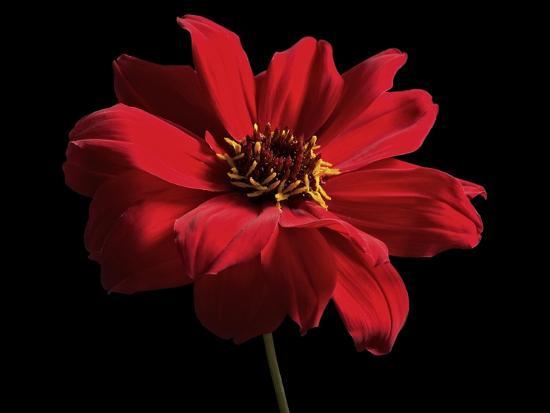 Red Flower on Black 01-Tom Quartermaine-Giclee Print