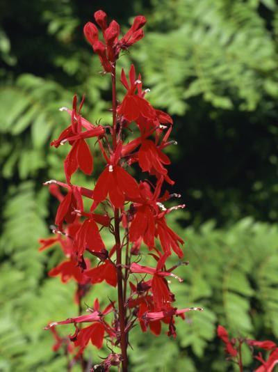 Red Flowers of Lobelia Cardinalis, Taken in August, in Devon, England-Michael Black-Photographic Print