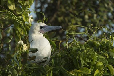 Red-Footed Booby White Morph in Ziricote Trees, Half Moon Caye Colony, Lighthouse Reef, Atoll-Pete Oxford-Photographic Print