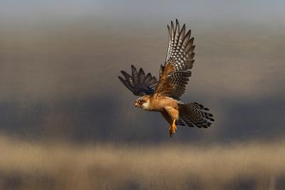 Red Footed Falcon (Falco Vespertinus) Hunting, Bagerova Steppe, Kerch Peninsula, Crimea, Ukraine-Lesniewski-Photographic Print