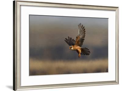 Red Footed Falcon (Falco Vespertinus) Hunting, Bagerova Steppe, Kerch Peninsula, Crimea, Ukraine-Lesniewski-Framed Photographic Print