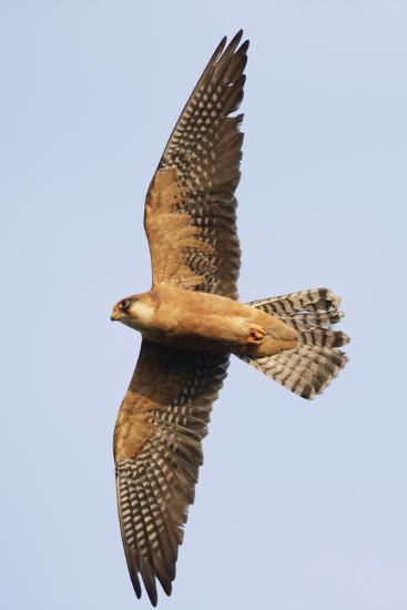 Red Footed Falcon (Falco Vespertinus) in Flight, Danube Delta, Romania, May 2009-Presti-Photographic Print